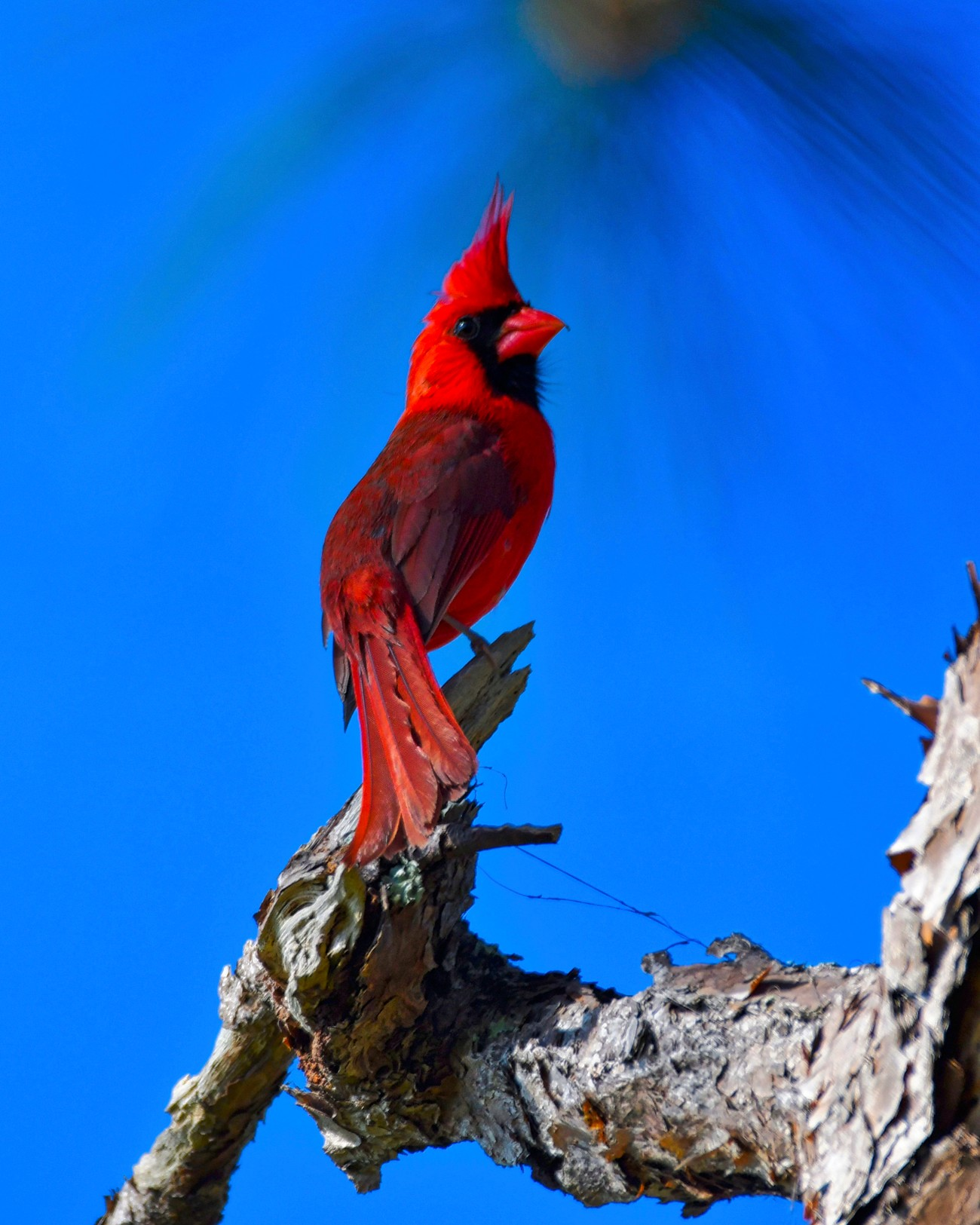 Handsome male cardinal poses in a pine tree at Oscar Scherer State Park near Sarasota, Fl