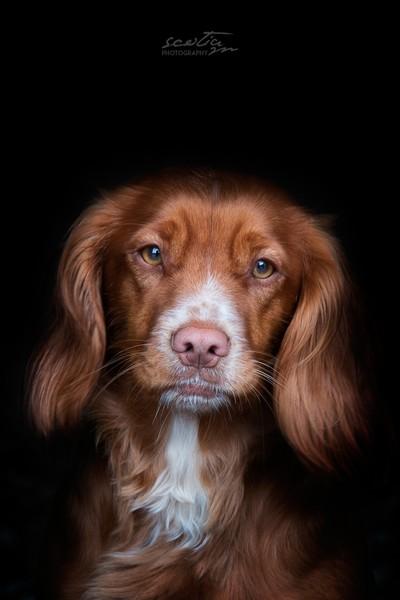 SCOTLANDS DOGS - FOSSIE