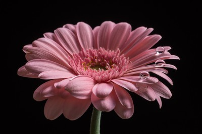 stock-photo-a-string-of-pearls-gerbera-daisy-macro-63659659
