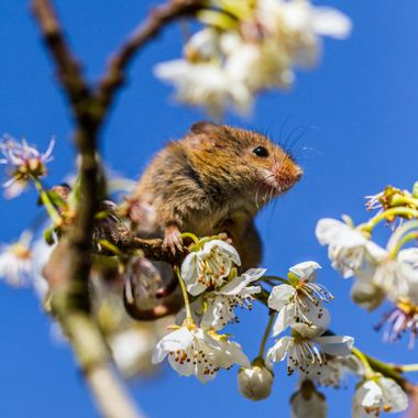 The mouse, the cherry blossom & the blue sky