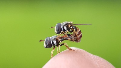 Hoverfly making a love