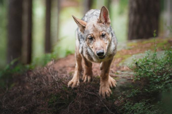 37 Outstanding Shots Of Wolves That Will Impress You