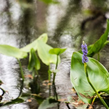 The Everglades, The flower in the channel