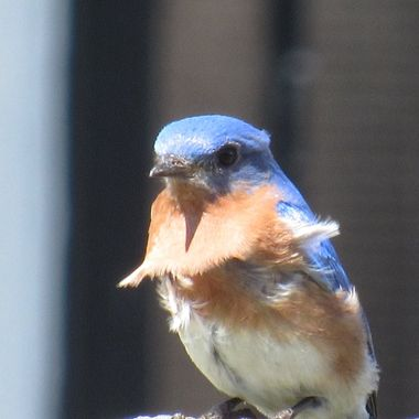 Windy Day Bluebird
