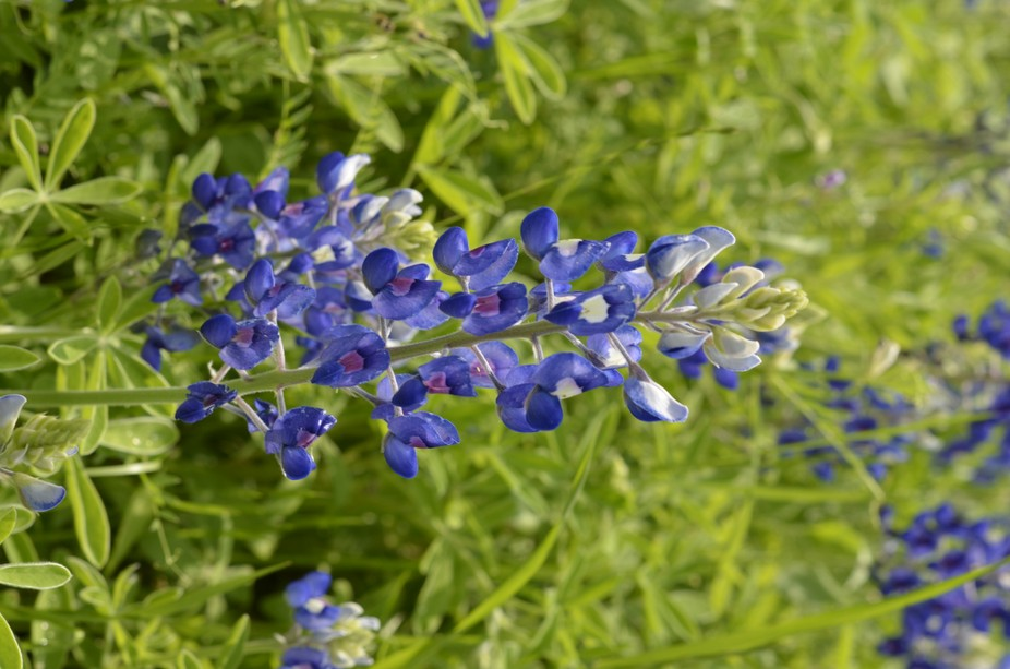 Bluebonnet season in Texas. Road sides gon the highway are filled with bluebonnet and indian pain...