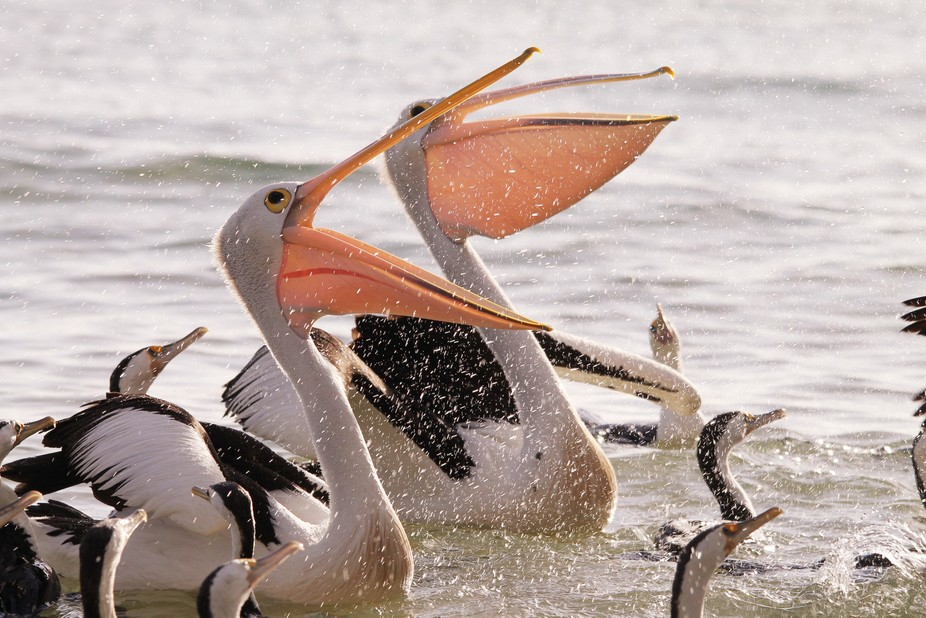 Australian pelicans feeding with Pied Cormorants at Moreton Island.