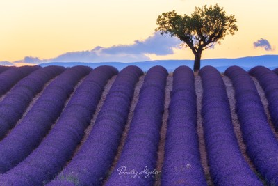 The smell of fresh lavender