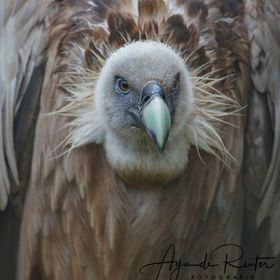 Griffon vulture, It declined markedly throughout the 19th-20th centuries in much of Europe, North Africa and the Middle East, mainly due to direc...