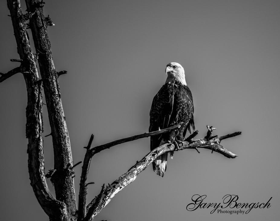Eagle perched black &white