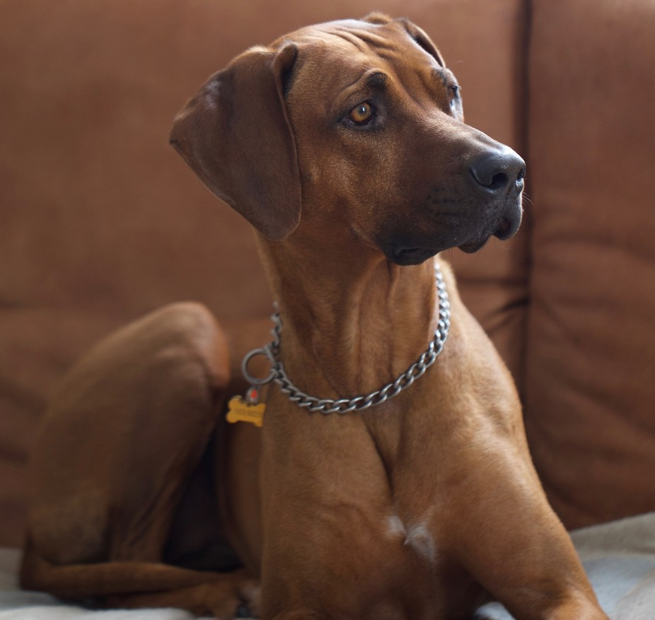Our beloved Ridgeback