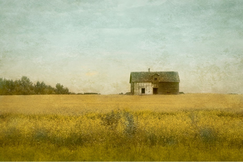 Abandoned farm in canola field