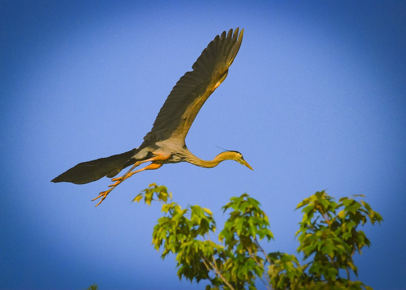 One of the Herons ready to land.