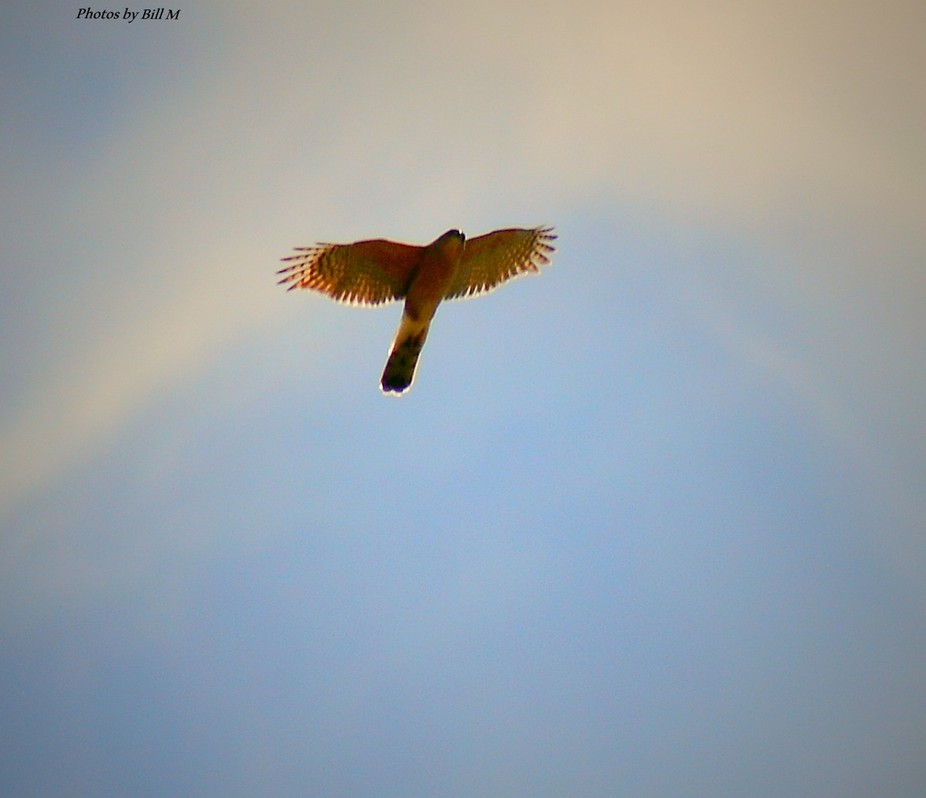 Cooper Hawk on the hunt in the back pasture, Still trying to get those distance, sky pictures right