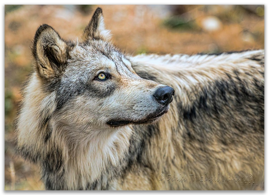 The eye of the wolf 5678