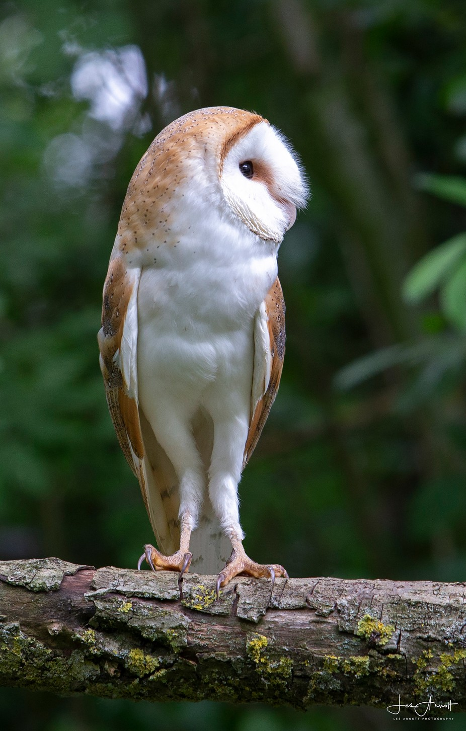 Barn Owl by lesarnott - Image Of The Month Photo Contest Vol 32
