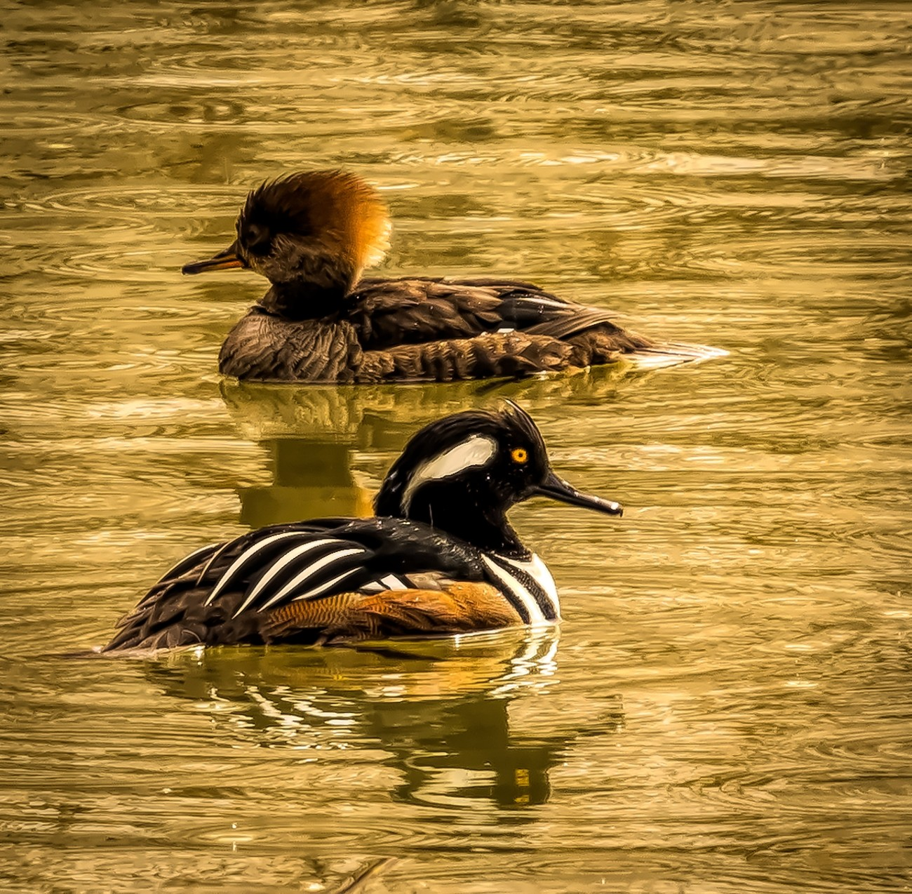 Hooded Mergansers - Male and Female