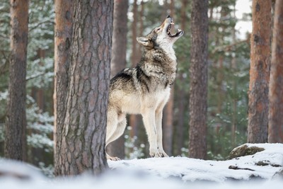 Wolf howling