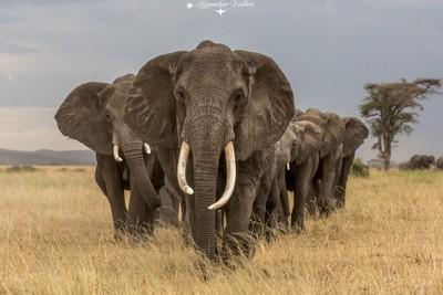 Elephants Hide marching