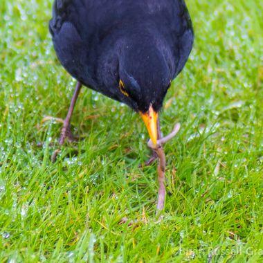 Blackbird-8976