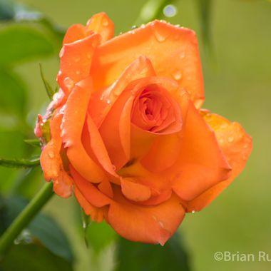 rose-9301