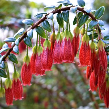 Visiting the amazing botanical gardens of Edinburgh loved this arched stemmed shrub dripping with flower heads