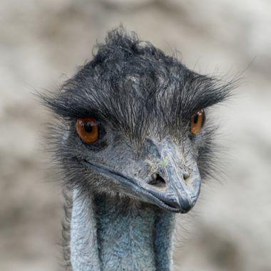 a beautiful close up emu portrait
