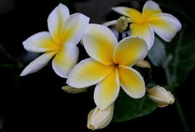 Yellow Plumerias