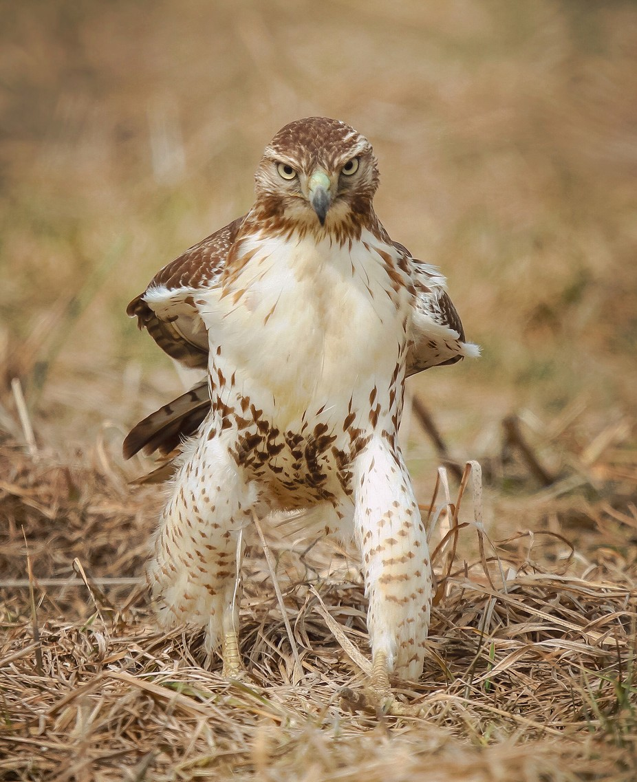 The Cowboy Hawk.  Young Red_tailed Hawk confronts me on the plains.  A re-post since this image was deleted from my account page and contests— somehow by Viewbug. by NatureinLight - Image Of The Month Photo Contest Vol 32