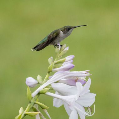 Last summer noticed that the hummingbirds liked the flowers on my hostas; I moved one of the feeders back in where the hostas were - and they happily perched on the hostas, sipped from the hostas and generally posed on the flowers affording me the chance to shoot with only the grass in my backyard as the backdrop.