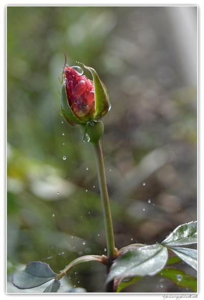 Rain Drops ...