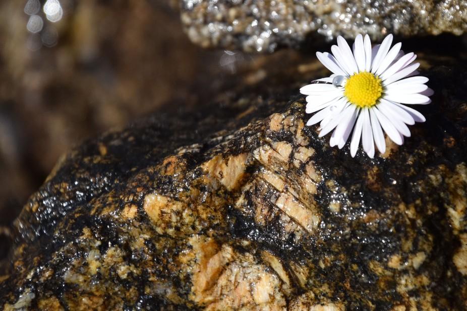 Daisy on a Stone