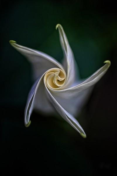 IMG_4682.2018.Trumpet Bloom