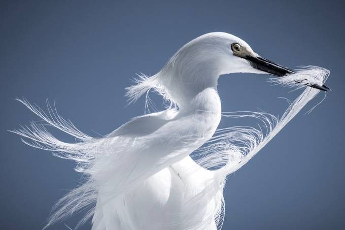 Snowy Egret in Breeding Plumage  by altoney - Image Of The Month Photo Contest Vol 32
