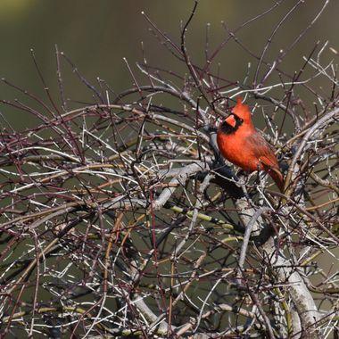 Male Cardinal, 04/08/2018, Darnestown, MD.,DSC_1088-3