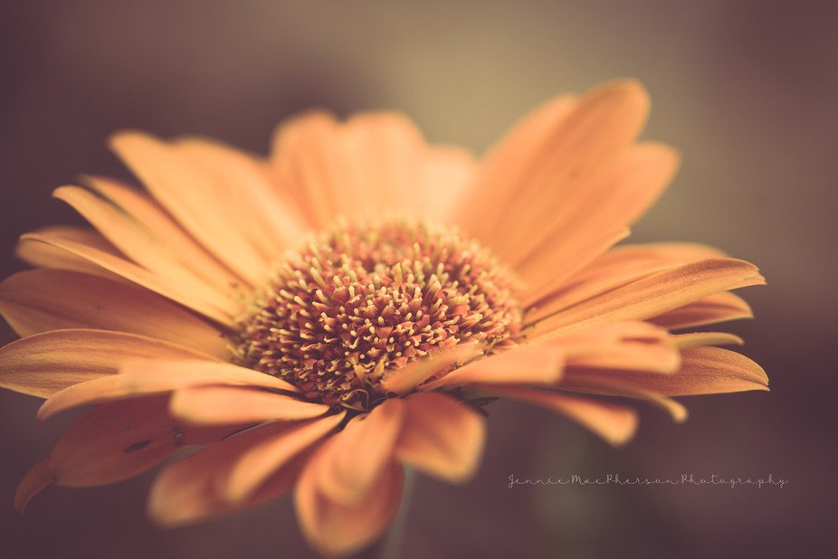 Dusty Daisy-Color