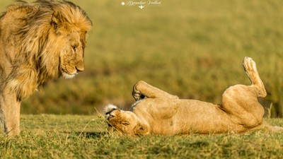 Lioness calling Lion