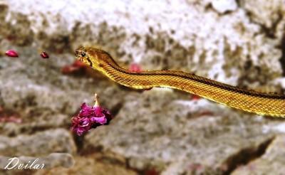 Cardal do douro - cobra