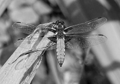 Broad-bodied Libellula Dragonfly b-w