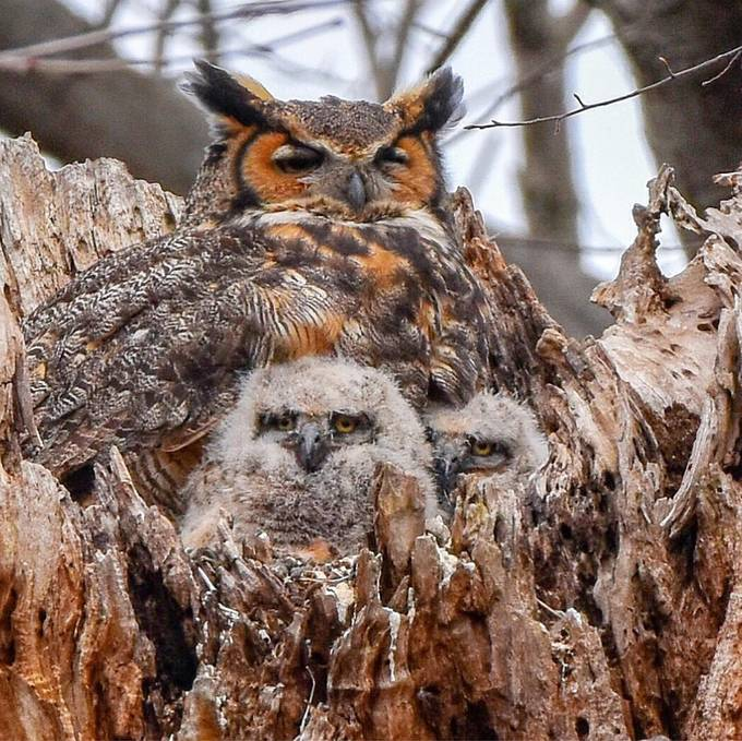 Mama Great Horned Owl and her 2 owlets by rhonna - Celebrating Nature Photo Contest Vol 5