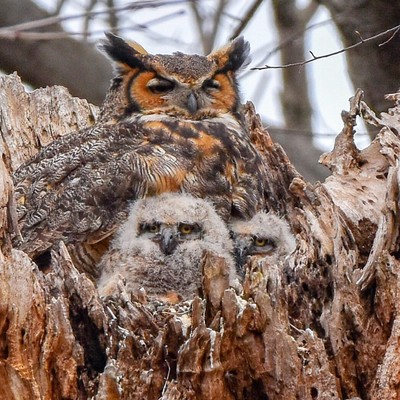 Mama Great Horned Owl and her 2 owlets