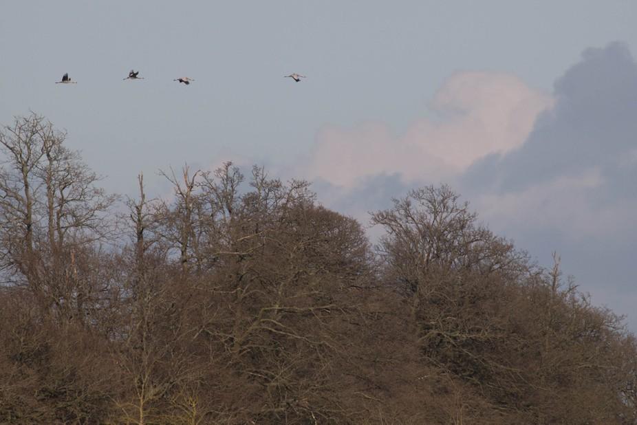 Cranes Leaving Slimbridge