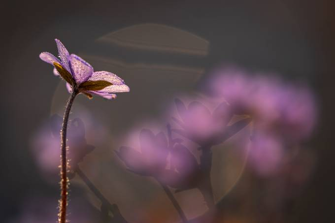 Spring flowers by RalfvonSamson - Pastel Colors Photo Contest