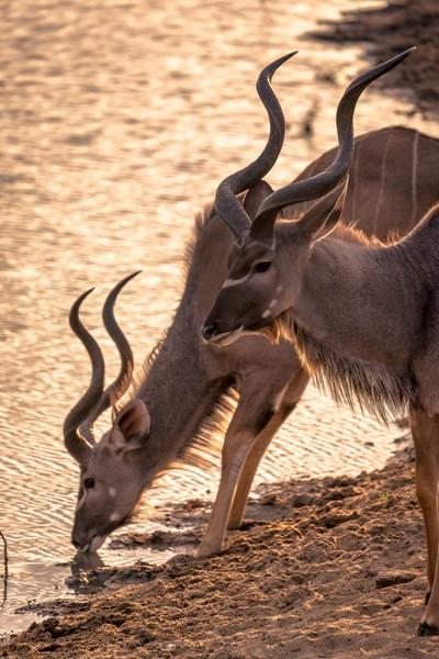 Kudu Bulls - Tangala Bush Camp(JHB12753)