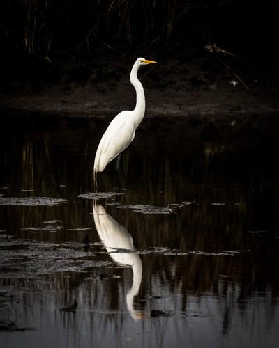 Mirrored Egret, 1.2018Mirrored Egret, 1.2018 - Florida 1.2018(OM8A7223