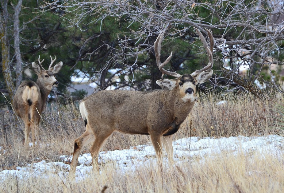 This big Mule Deer buck was a sight to see!  Notice how his right ear is lower due to an unusual ...