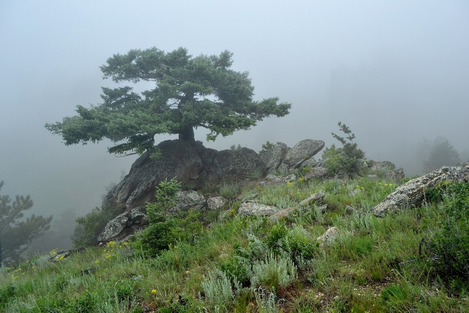 A brave pine persevering over the elements in Golden Gate Canyon, west of Denver, Colorado.  Titl...