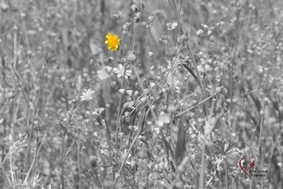 17 Apr 2017-wildflower-b&w with touch of color