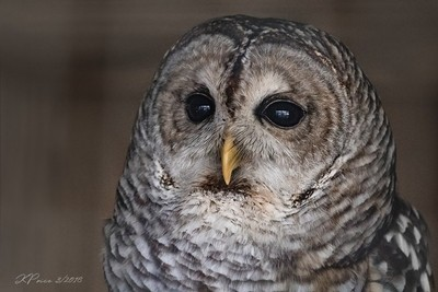 A Trip To The Zoo - Barred Owl