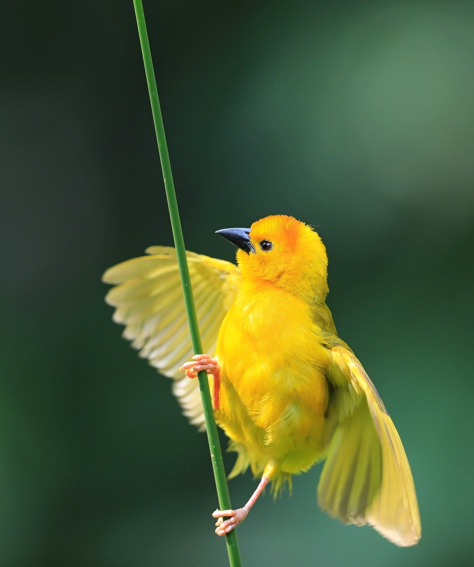 Tavete Golden Weaver by biglenswildlife - It is Yellow Photo Contest