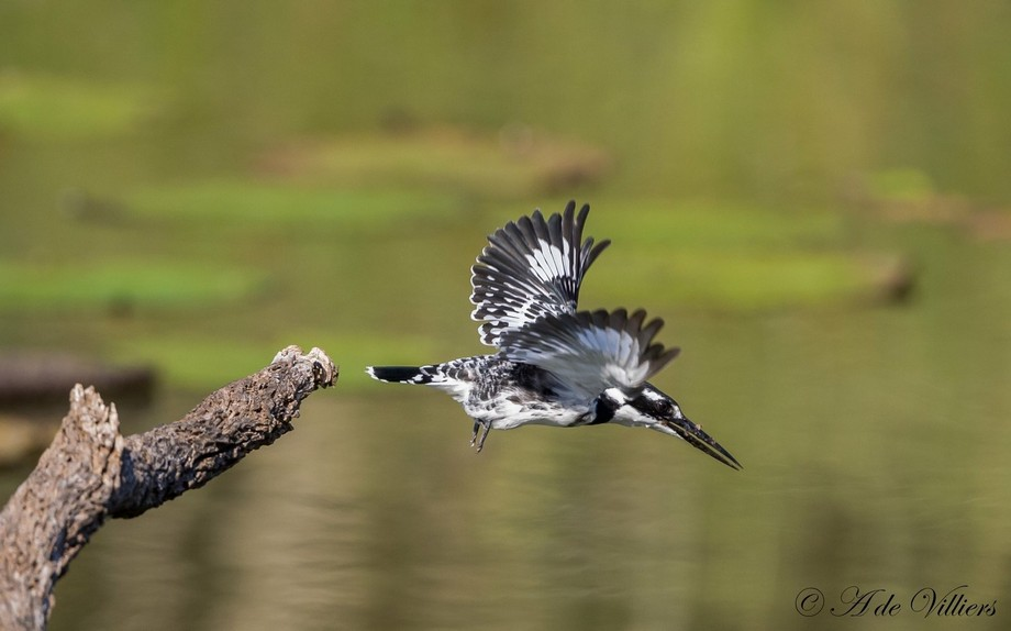Pied Kingfisher take off.